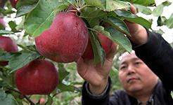 【高清圖集】河南洛寧小蘋果帶動致富大産業