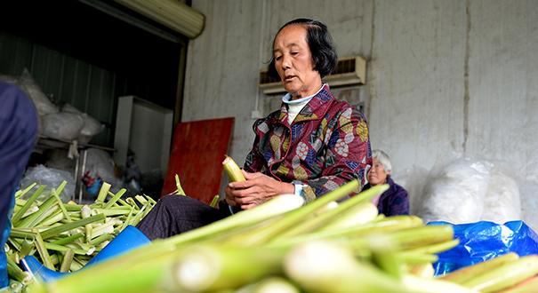 安徽岳西:高山茭白富農家