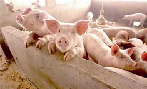 豬肉價格持續上漲 養殖戶:有多少豬豬販子都收