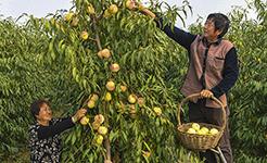 河北武邑:特色冬桃種植助增收