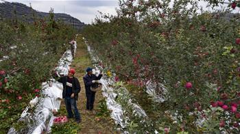【高清圖集】陜西志丹:蘋果産業助農增收