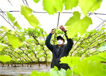 【圖集】河北灤州:搶農時 抓生産