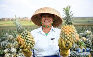 """""""菠蘿的海""""迎豐收"""