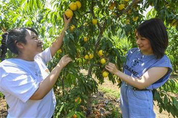 【圖集】河北香河:油桃進入採摘高峰期