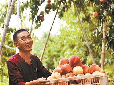 22萬畝平谷大桃成熟上市
