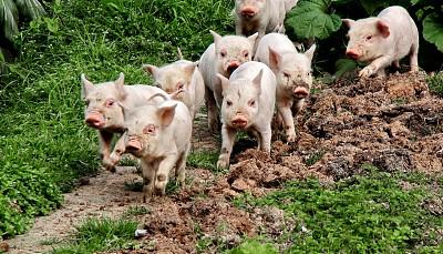生豬生産恢復較快 四季度供需將緩和