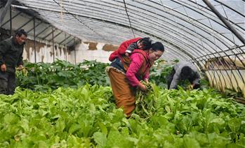 藏東脫貧影像:溫室大棚助脫貧