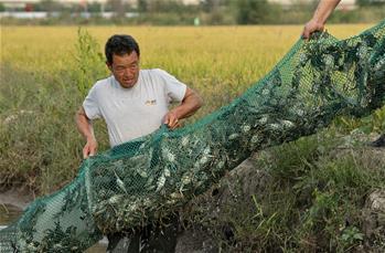 河北唐山:稻蟹生態種養促增收