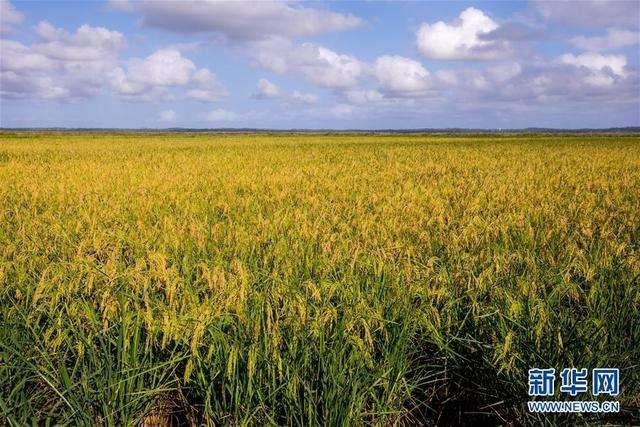 """""""水稻還沒種就加價預售了""""——安徽半數""""優質糧""""保增收"""