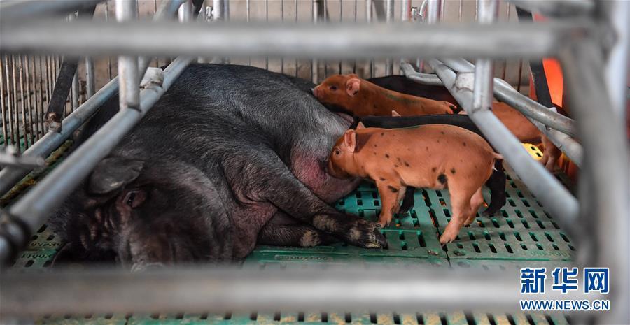 西藏昌都:卡若香豬養殖助力貧困戶增收