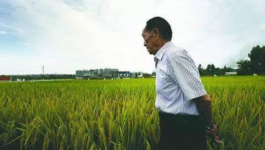 內蒙古興安盟海水稻畝産稻谷再破千斤