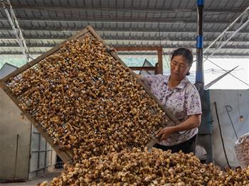 雲南西疇:巴西菇助村民增收