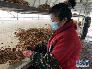 """黑土地上的""""甜""""和""""香""""——豐收時節黑龍江農村産業發展見聞"""