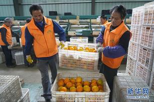江西瑞金:臍橙進入銷售旺季