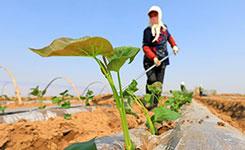 河北灤南:紅薯種植忙