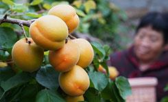 河北順平:錯季水果種植促農增收