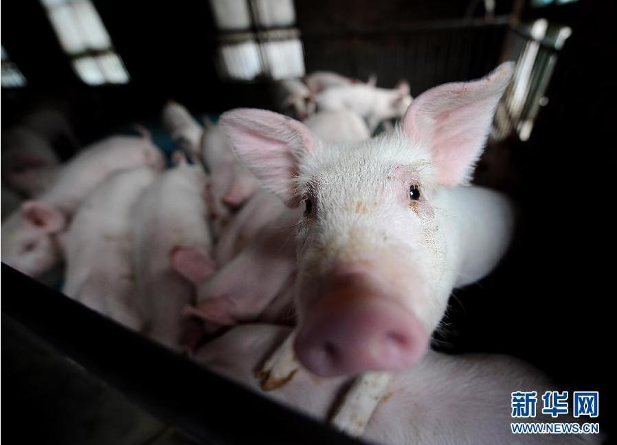 超級豬周期警示要抓好兩大關鍵