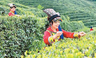 茶産業致富