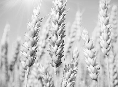 全靠國産自育品種 小麥播種面積減少産量卻大增