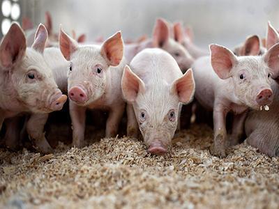 生猪短期涨幅创近5年新高 新一轮猪周期开启
