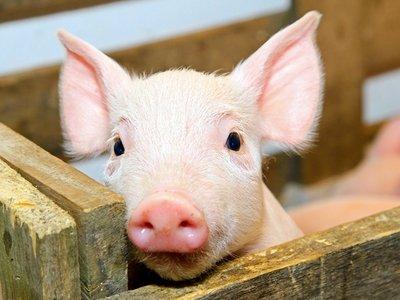 风口上的猪周期:盛…