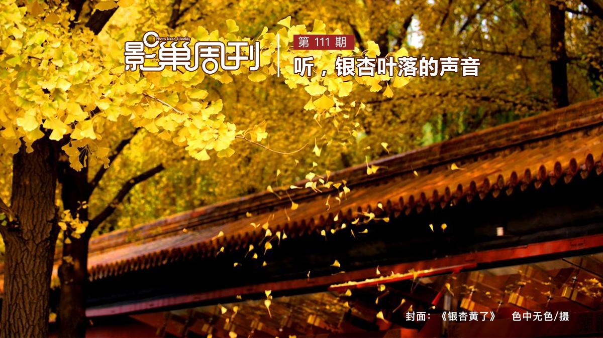 【影巢周刊】聽,銀杏葉落的聲音