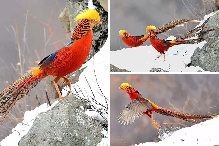 抓拍!羽色華麗的紅腹錦雞