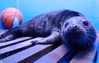 全國首例人工哺育成活的灰海豹對鏡自嗨賣萌