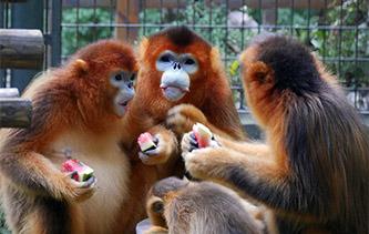 老虎戲水金絲猴吃瓜 看鏡頭下的動物園消暑妙招兒