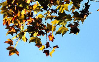 鏡頭下風吹葉落遍地金 江蘇揚州色彩斑斕秋意濃