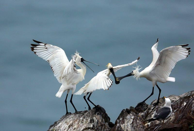 香港觀鳥會:黑臉琵鷺突破4000只