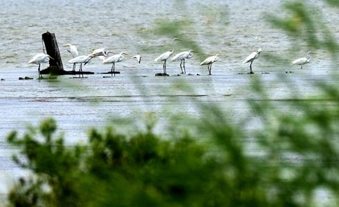 澳門的濕地保育和候鳥遷徙