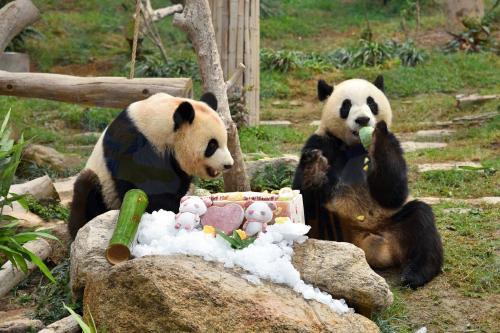 """澳門大熊貓""""健健、康康""""3歲了!"""