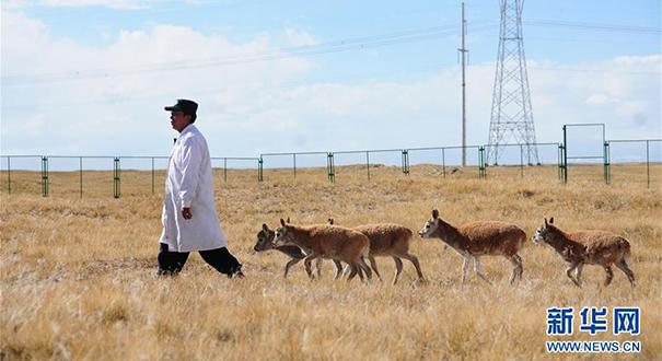 可可西裏藏羚羊7只幼羚得到救助