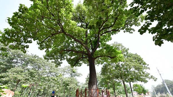 焦桐,活在百姓心中的樹