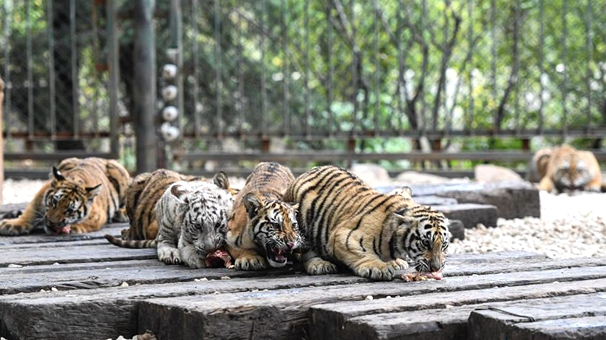 濟南野生動物世界12只小老虎集體亮相