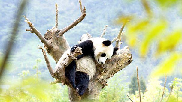 四川臥龍神樹坪基地大熊貓的安逸秋日生活