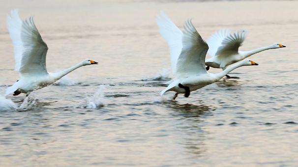 天鵝湖面舞