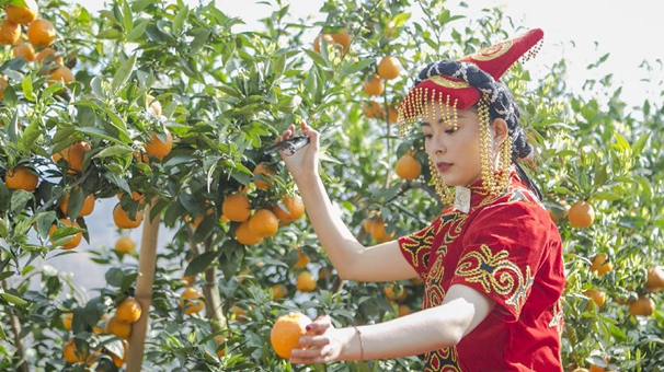 四川石棉:黃果柑迎來豐收季