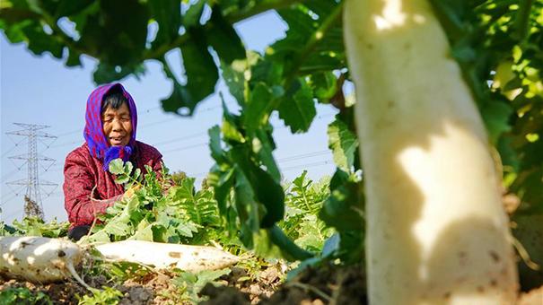 河北黃驊:白蘿卜種植促增收