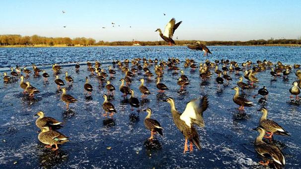 河北唐山:水鳥戲南湖