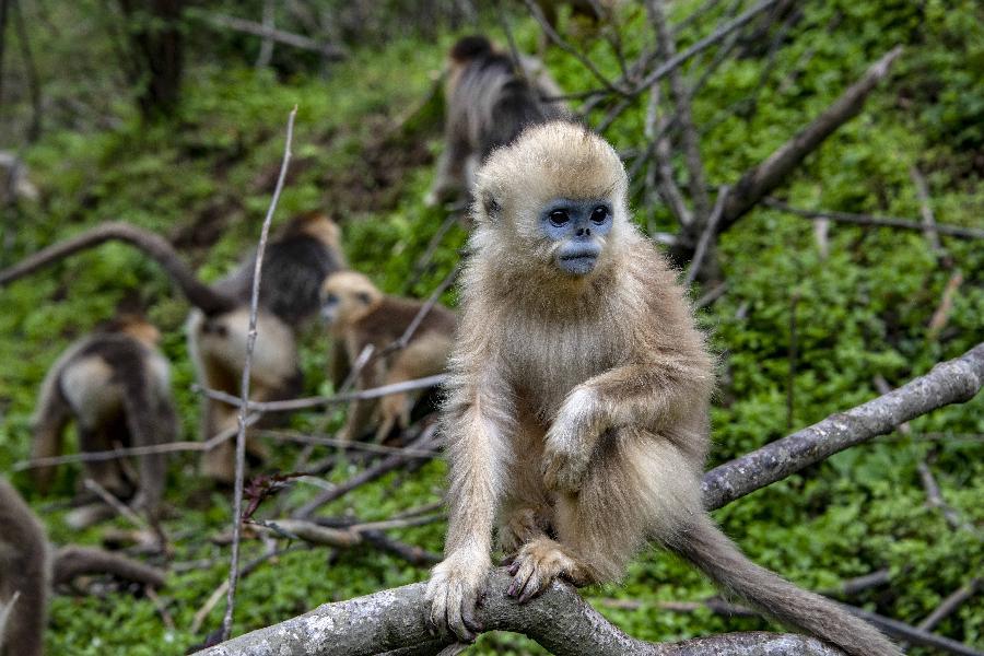 湖北神農架金絲猴得到有效保護