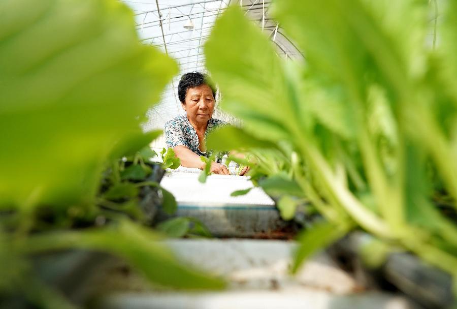 河北灤州:設施農業促增收