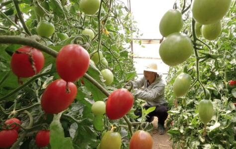 """一個西紅柿從大棚到餐桌之""""旅"""""""