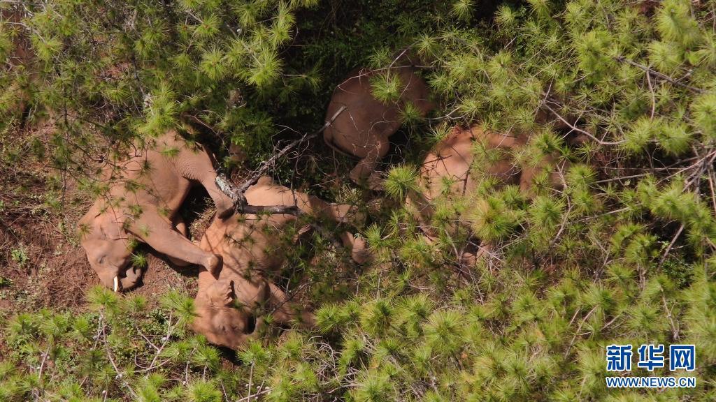 雲南北遷亞洲象群持續在玉溪市易門縣活動