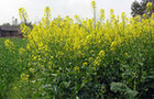"""我國建立油菜""""田間到舌尖""""全産業鏈綠色生産模式"""