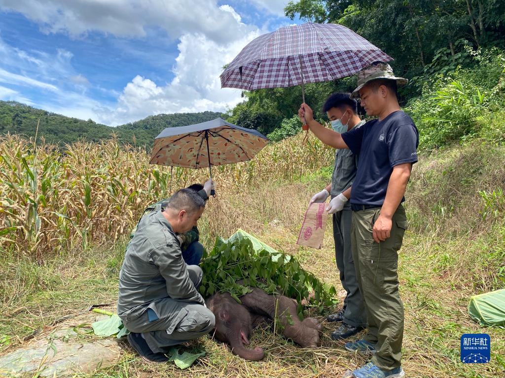 云南西双版纳:幼象出生仅6天遭遗弃 工作人员全力救治