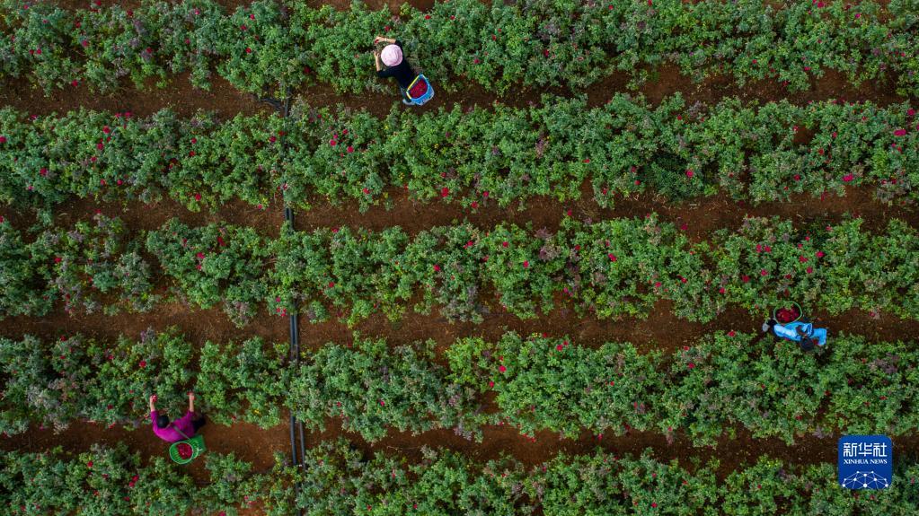 云南弥勒:鲜花铺就农民致富路