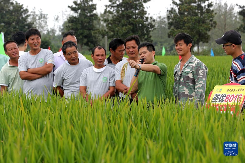"""安徽全椒:""""看禾选种""""促进农业增产增效"""