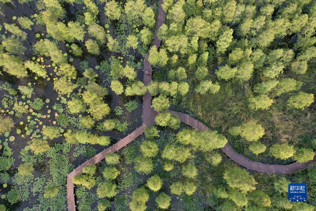 生态湿地 池杉靓影